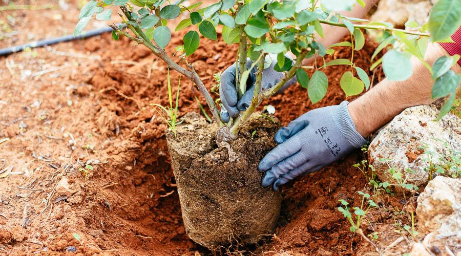 Φυτοπροστασία τριανταφυλλιάς
